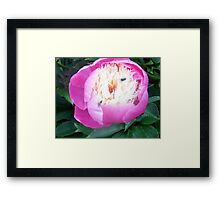 the flys also love my peony Framed Print