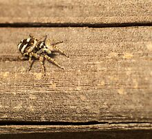 small spider on wooden fence by stresskiller