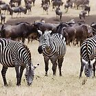 Zebras by ollygriffin