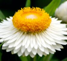 White & Yellow Daisy Sticker