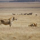 Lioness by ollygriffin