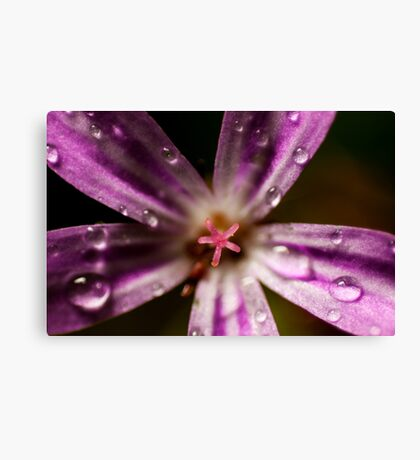 extreme macro of pink Roberts herb flower Canvas Print