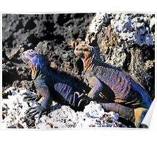 Galapagos Marine Iguana Buddies Poster
