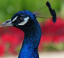 Proud As a Peacock by davidandmandy