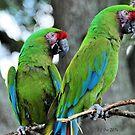 Great Green Macaws (Ara ambiguus) by Jeff Ore