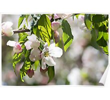White blossoms on an ornamental tree Poster