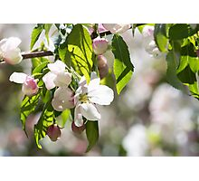 White blossoms on an ornamental tree Photographic Print