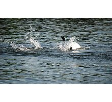 Belly Up Loon Photographic Print