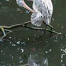Reflective Stork  Preening by JohnYoung