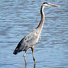 Wading Blue Heron by sternbergimages