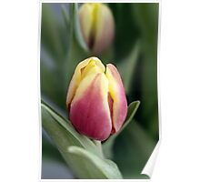 red and yellow tulip in spring green background Poster