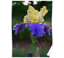 Blue and Yellow Bearded Iris Poster