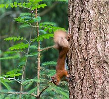 Red Squirrel by M.S. Photography/Art