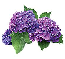 Purple Hydrangea by Susan Savad