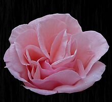 Pink Rose by Sandra Caven