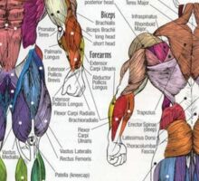 Muscle Anatomy Chart Sticker