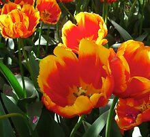 Tulip Time in Australia  by Heatherian