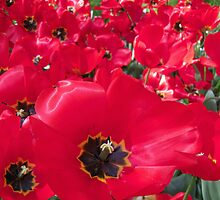 Tulip Time in Australia 4 Photograph by Heatherian by Heatherian