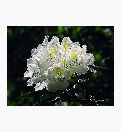 Great White Rhododendron Photographic Print