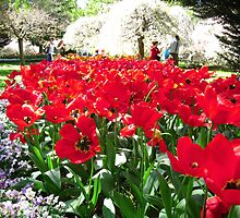 Tulip Time in Australia 12 Photograph by Heatherian by Heatherian