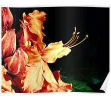 Orange Blaze Azalea Poster