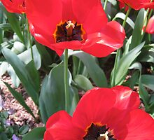 Tulip Time in Australia 16 Photograph by Heatherian by Heatherian