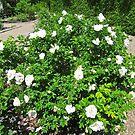 White Rose Bush by Shulie1