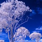 Hope Island Reserve - Infrared Tree 1 by spiritoflife