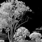Hope Island Reserve - Infrared Trees 6 by spiritoflife