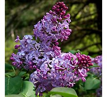Purple Lilac Blossoms Photographic Print