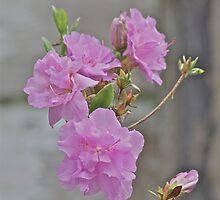 Pink Azalea 4 by Carolyn Clark