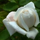 White Rose by Evelyn Laeschke