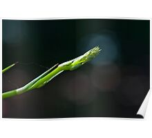 Spider Plant Blossom Spike Poster