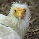 Egyptian Vulture by starbucksgirl26