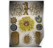 19th Century Nature by Haeckel Poster