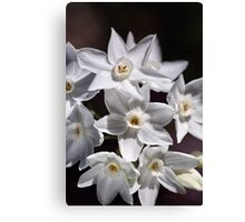 Cluster Of Paperwhite Flowers Canvas Print