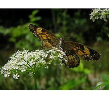 Silvery Checkerspot Photographic Print