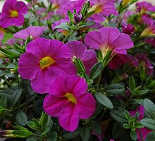 Pretty Purple Petunias by vigor