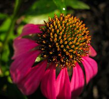 Purple Coneflower by RlyGoingPlaces