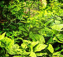 Skunk Cabbage Thicket by MotherNature2