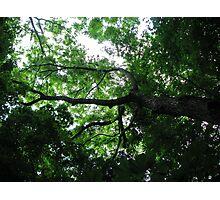 Kentucky Coffeetree Photographic Print