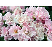 Beautiful small light pink flowers in the garden. Photographic Print