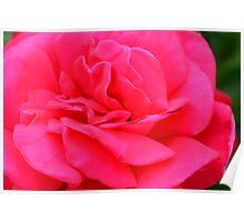 Macro on pink rose. Poster