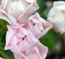 Beautiful small light pink flowers in the garden. Sticker