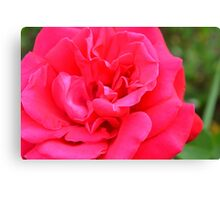 Macro on pink rose. Canvas Print