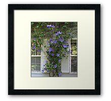 Climbing Blue Clematis Framed Print
