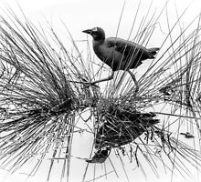 Purple Swamphen B&W by Bette Devine