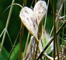 Wooly seed pods by ndarby1