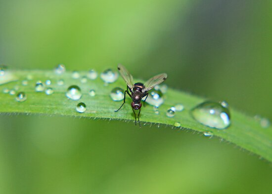 Dew Drops and Fly by AnnDixon