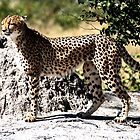 Majestic Leopard by Marylou Badeaux